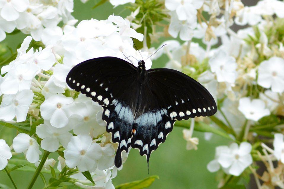 spice brush swallowtail