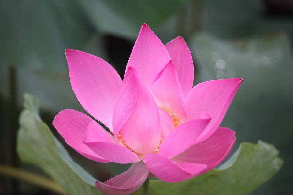 Lotus Flower in Pink
